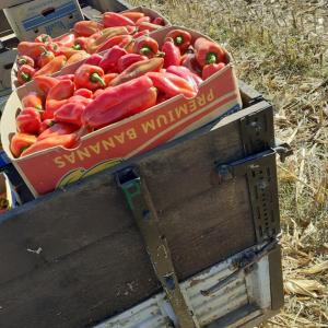 zdrava paprika